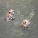 opice-se-koupou