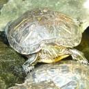 To je ta želva z Point Pellee