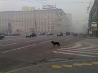 Pes přechází silnici